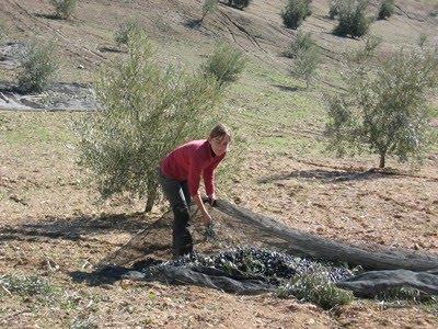 Recolección manual de la aceituna en Huelma – Jaén