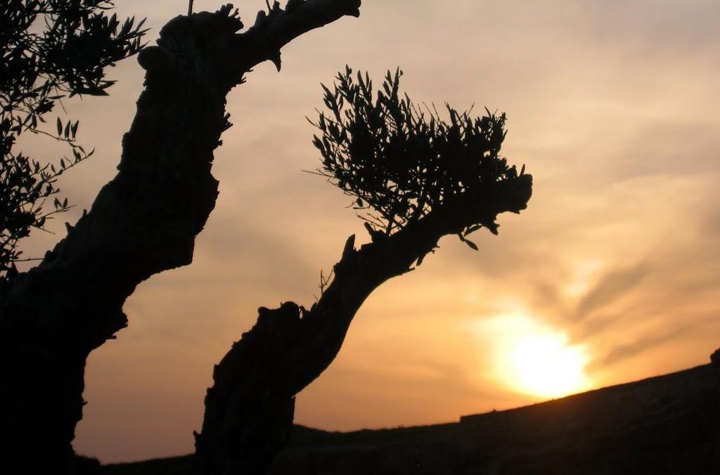 Poesía en el olivar