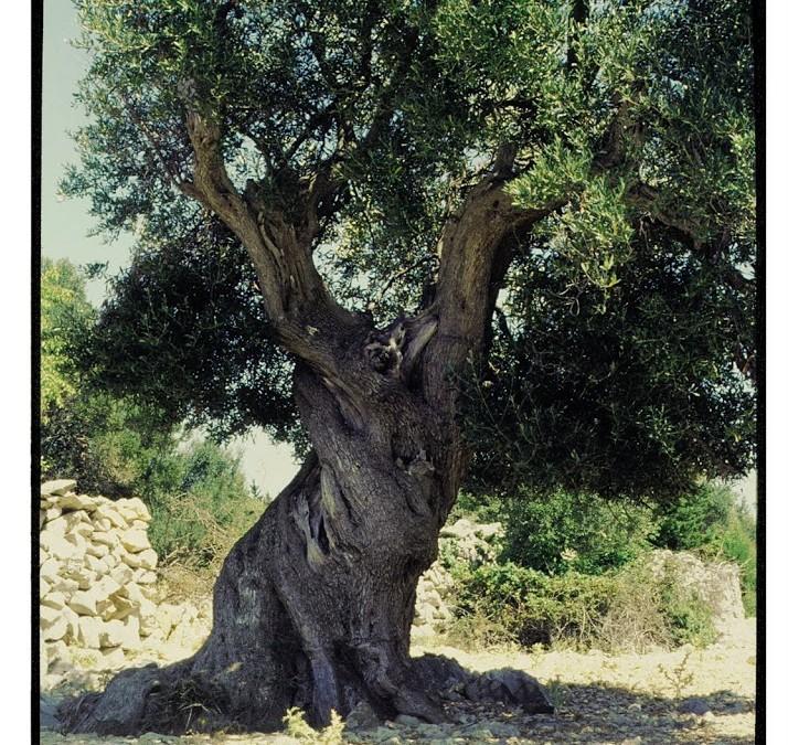 Energía gracias a los restos del olivo