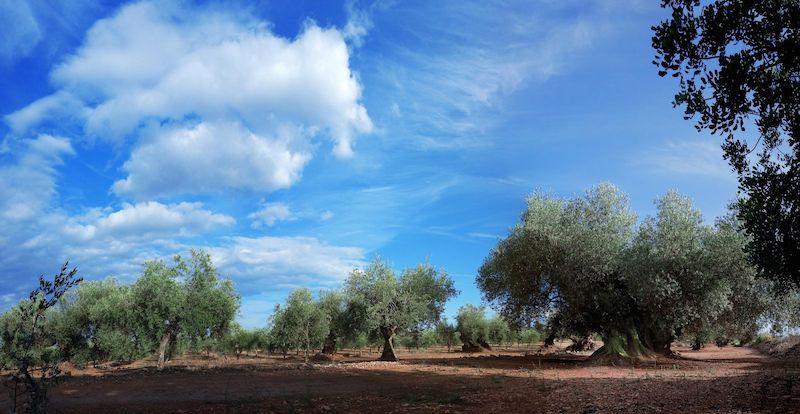 Ruta olivos milenarios castellon