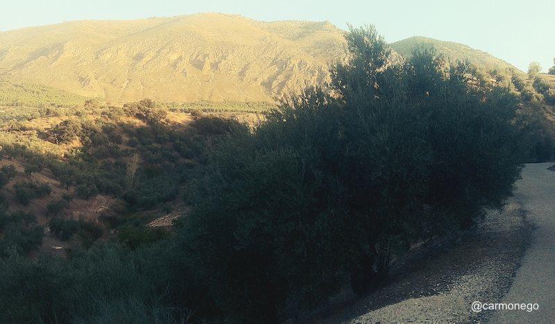 Olivar de Sierra Magina