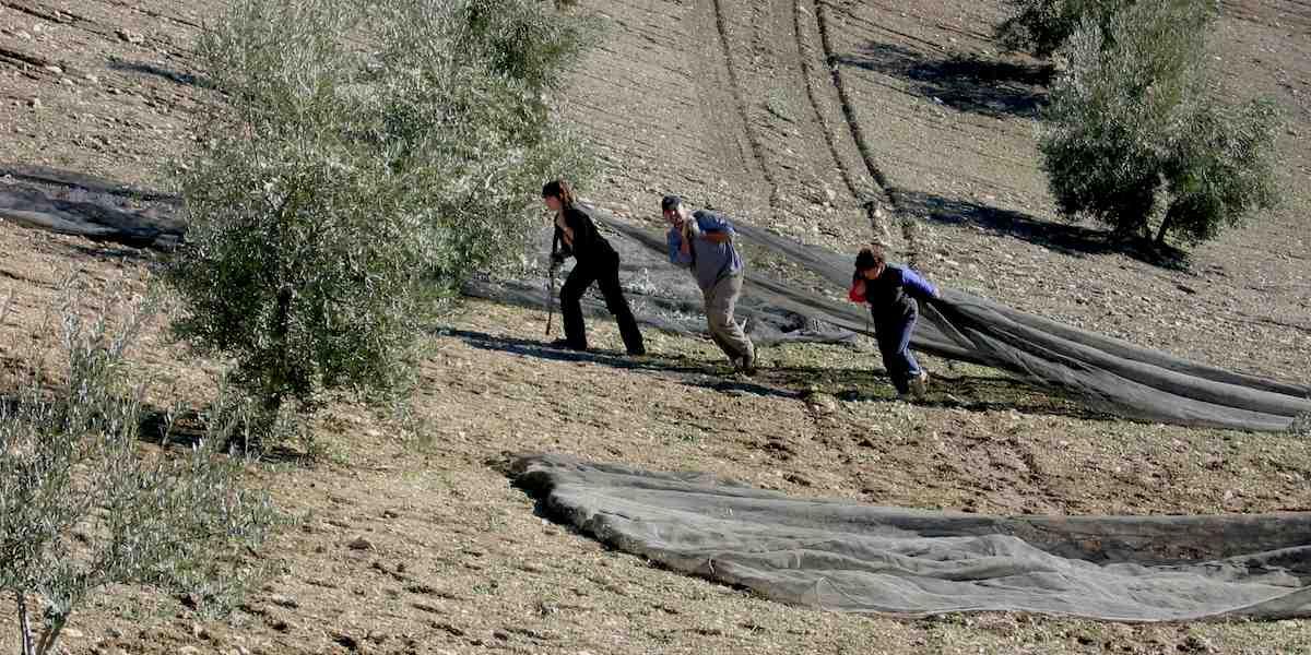 Recogida de la aceituna en Sierra Mágina