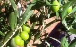 Acidez del aceite de oliva