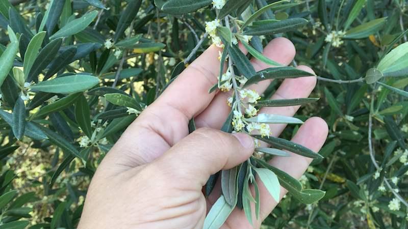 Polen del olivo