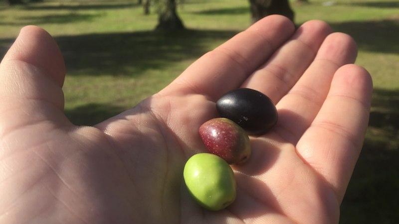 Aceitunas verde, en envero y madura