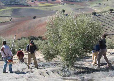 Recolección de la aceituna en Jaén