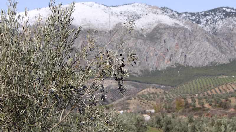 Aceite de Oliva de la Sierra de Jaén