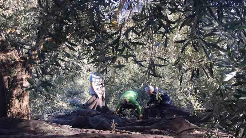 Recogida a mano del aceite de oliva de Jaén